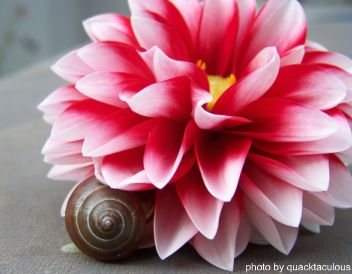 snail on flower, photo by quacktaculous