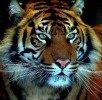 Tiger photo by Brian Mckay (Brimack)